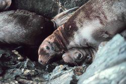 Steller sea lion - Eumetopias jubatus. Photo