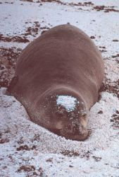 Hawaiian monk seal - Monachus schauinslandi. Photo