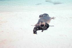 Hawaiian monk seal - Monachus schauinslandi. Photo