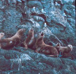 A vociferous group of Steller sea lions - Eumetopias jubatus. Photo