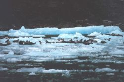Harbor seals on small ice bergs in Southeast Alaskan waters. Photo