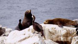 Steller sea lions on a rock Photo