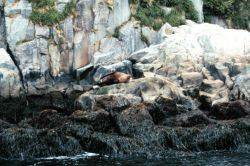 A steller sea lion lollygagging about on a warm Alaskan day. Photo