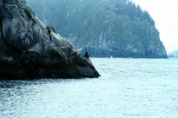 Steller sea lions on a rocky perch. Photo