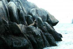 Steller sea lion on a rocky perch. Photo
