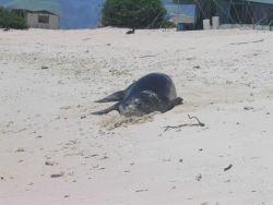 Hawaiian monk seal - Monachus schauinslandi Photo