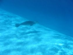 Hawaiian monk seal - Monachus schauinslandi Photo