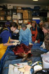 Veterinarian Kathy Burek leads a harbor seal necropsy clinic for members of NOAA Fisheries Alaska Marine Mammal Stranding Network. Photo