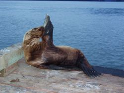 A sick juvenile Steller sea lion hauled out on a public boat ramp (captured and sent to the Alaska SeaLife Center for rehabilitation; released success Photo