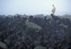Researcher moving through a northern fur seal colony. Photo