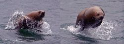 Steller sea lion chasing boat Photo