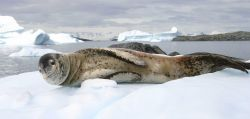 Leopard seal hauled out on the ice Photo