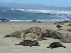 Large male elephant seal claiming rights to his harem Photo