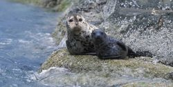 Harbor seal and pup Photo