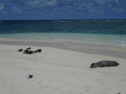 Monk seal on beach with brown noddies to left Photo