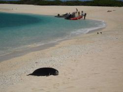 Monk seal on beach with Homo sapiens further down the beach. Photo
