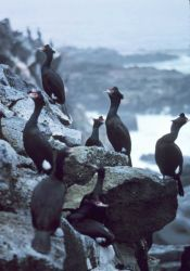 Red-faced cormorants. Photo