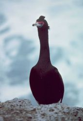 Front view of a red-faced cormorant. Photo