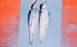 Arctic terns (Sterna paradisaea) for scientific specimens. Photo