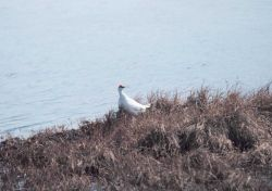Ptarmigan - Lagopus lagopus - the Arctic chicken. Photo