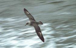 Glaucous gull (Larus hyperboreus) in flight. Photo