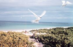 White terns or fairy terns, Gygis alba, in flight Photo