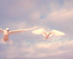 White terns or fairy terns, Gygis alba, in flight. Photo