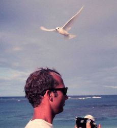 White terns or fairy terns, Gygis alba, in flight over the head of Jim McVey. Photo