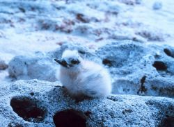 A white or fairy tern, Gygis alba. Photo