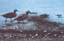 Laysan ducks waddling through their dinner of Laysan flies. Photo