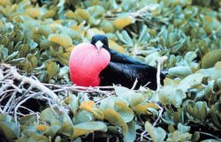 A male frigate bird, Frigata minor. Photo