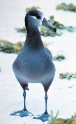 Black-footed Albatross (Phoebastria nigripes). Photo