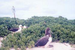 Laysan albatross (Phoebastria immutabilis) nesting ground and chick. Photo