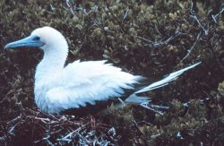 Young booby. Photo
