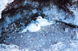Nesting red-tailed tropic birds. Photo