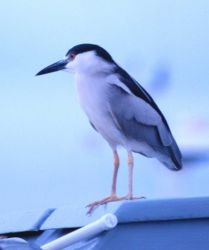 Small heron. Photo