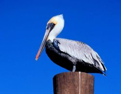 Brown pelican perched on a piling. Photo