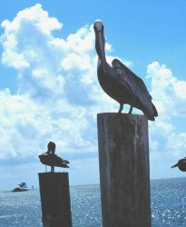 Pelicans perched on pilings. Photo