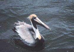 A Brown Pelican cruises close for a look at the photographer. Photo