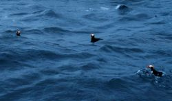Tufted puffins looking for dinner. Photo