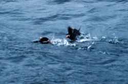 Tufted puffins taking off as boat approaches. Photo