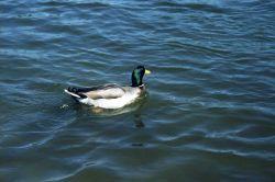 Mallard duck. Photo