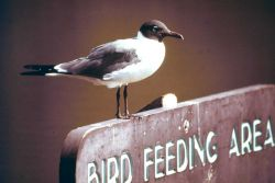 Literate laughing gull waiting for a handout. Photo