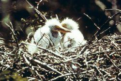 Maybe wood stork chicks. Photo