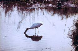 Stork obtaining dinner. Photo