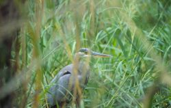 Green heron. Photo