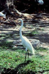White heron. Photo