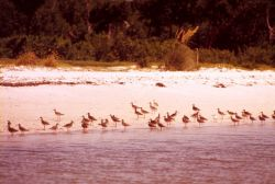 Marbled godwits? Photo