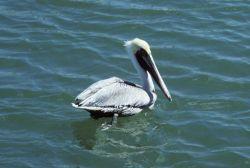 Pelican. Photo