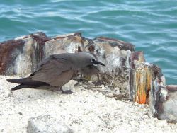 Black noddy. Photo